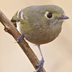 Separated from Ruby-crowned Kinglet by dark legs, thicker and slightly hooked bill, nearly complete eye-ring (only broken on top, kinglets is broken on top and bottom). Kinglets are constantly moving: Hutton