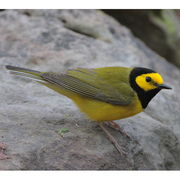 Male. Note: yellow face with black hood and white on sides of tail.