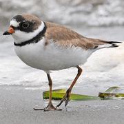 Breeding plumage. Note: orange bill with black tip.